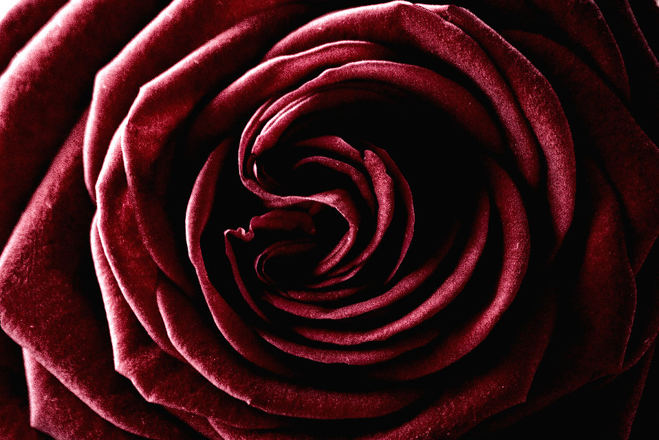 A dark red rose.